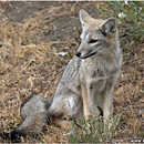Andean Fox, Torres del Paine, Patagonia, Chile